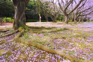 自然,風景,公園,花,春,桜,木,屋外,植物,花見,景色,影,花びら,光,草,美しい,樹木,お花見,イベント,日本,地面,天気,四季,根,ガーデン,陽気,根っこ