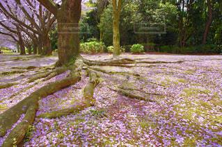 自然,風景,公園,花,春,桜,木,屋外,ピンク,緑,植物,花見,景色,花びら,満開,樹木,お花見,イベント,並木,日本,地面,四季,根,ガーデン,根っこ