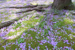 自然,風景,花,春,桜,木,屋外,ピンク,緑,植物,花見,景色,花びら,満開,草,美しい,樹木,お花見,新緑,イベント,日本,地面,四季,根,草木,ガーデン,根っこ