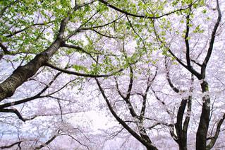 自然,公園,花,春,桜,木,屋外,枝,葉っぱ,葉,花見,花びら,満開,美しい,樹木,お花見,新緑,イベント,日本,和,四季,日中,開花
