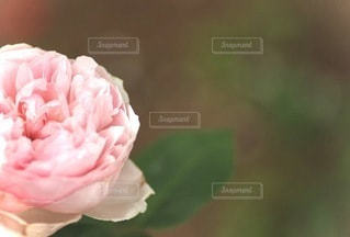 ピンクの花ののクローズアップの写真・画像素材[3391474]