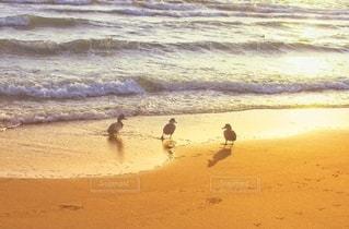 夕焼けのビーチを並んで歩く3羽の鳥の写真・画像素材[3546859]