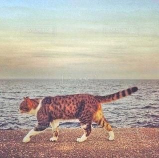 海辺を歩く野良猫の写真・画像素材[3546907]
