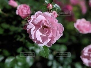 夜の道に咲く街灯に照らされるバラの写真・画像素材[4415627]