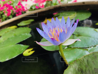 蓮子の花の写真・画像素材[2013888]