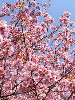 桜の写真・画像素材[2036243]