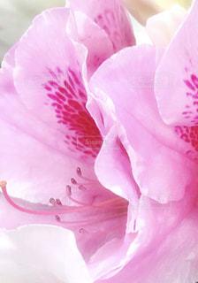 つつじの花の写真・画像素材[2038030]