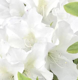 白いつつじの花の写真・画像素材[2038058]
