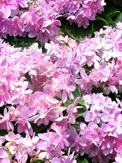 紫陽花の写真・画像素材[2050259]