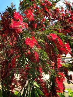 南国の赤い花の写真・画像素材[2050265]