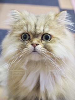 猫,動物,茶色,ベージュ,ペルシャ,ビックリ顔,ミルクティー色