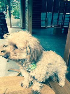 犬,カフェ,動物,茶色,子犬,ベージュ,ミックス犬,佇む,カフェタイム,ミルクティー色,ミルクティー色の犬