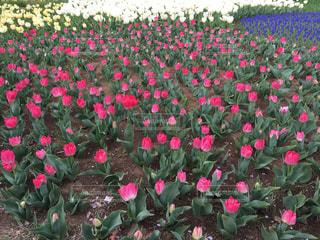 春色の小さなチューリップ畑の写真・画像素材[2012239]