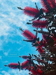 ブラシの木と青空の写真・画像素材[2123325]
