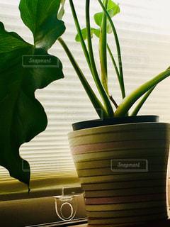 ブラインドカーテンが光でストライプに!鉢もお気に入り。の写真・画像素材[2146303]