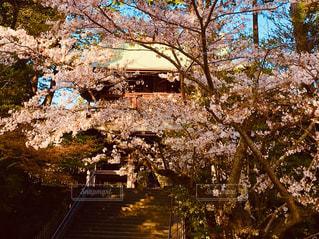 桜の下の階段の写真・画像素材[2147196]