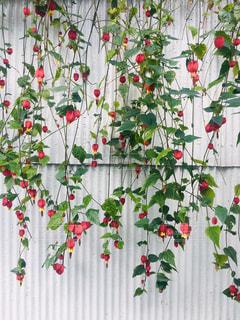 白色トタンとカーテンのような花。の写真・画像素材[2164713]