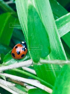 ハート葉傘で雨やどりのてんとう虫🐞の写真・画像素材[2168420]