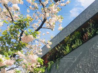 壁と桜と空と観葉植物。の写真・画像素材[2229838]