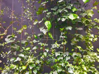 シンプル グレーの壁とアイビー。の写真・画像素材[2229859]