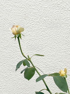 白壁が主役のバラ🌹の写真・画像素材[2235895]