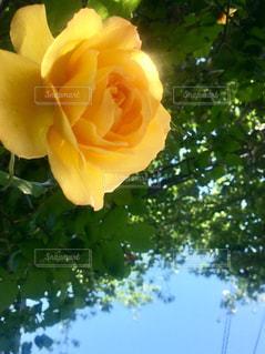 黄色薔薇と光の写真・画像素材[2261208]