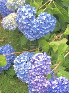二色ハート形紫陽花。の写真・画像素材[2263532]