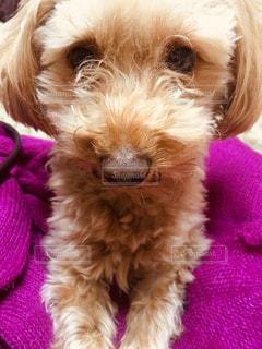 ふわふわピンクのセーターがお気に入りの犬の写真・画像素材[2279529]