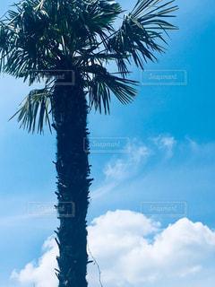 ヤシの木のふわふわ雲の写真・画像素材[2279780]