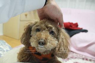 犬,ピンク,かわいい,茶色,家,ペット,仔犬,トイプードル,一眼レフ,パピー,飼い犬,ワンちゃん,なでなで,人懐こい