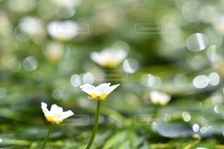 梅花藻の写真・画像素材[2112490]