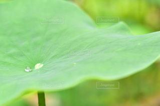 水滴,蓮,水玉,雫,しずく,蓮の葉,ひと粒