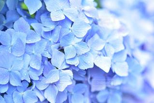三室戸寺の紫陽花の写真・画像素材[2112523]