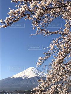 富士桜の写真・画像素材[2022210]