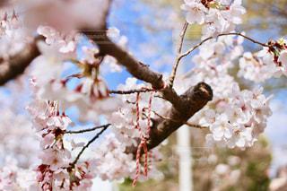 桜とミサンガの写真・画像素材[2016011]