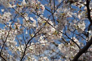 空,花,春,桜,青空