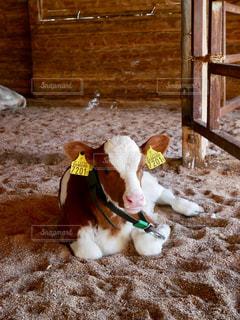 動物,茶色,牛,牧場,ベージュ,子牛,ミルクティー色
