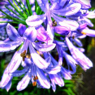 花,雨,水,紫,水滴,花びら,雨上がり,雫,雨粒,インスタ映え,dropofwater