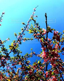 桜,屋外,ピンク,緑,晴れ,青空,晴天,青,枝,葉っぱ,外,お散歩,おでかけ,さくら,インスタ映え