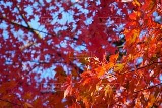 青空の下、紅葉したカエデの木の写真・画像素材[3814182]