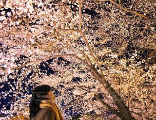 桜の天井🌸の写真・画像素材[2048741]