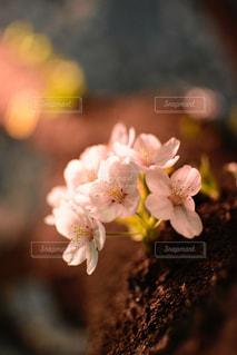 暖色系にライトアップされた夜桜の写真・画像素材[2045443]
