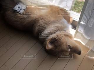 犬,動物,屋内,茶色,カーテン,床,日中,ゴールデン ・ リトリーバー