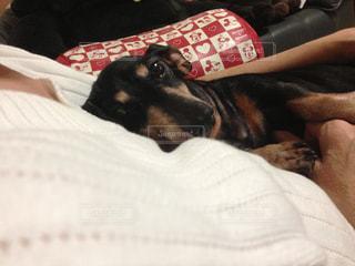 犬,いぬ,ダックス,黒い犬,ダックスフンド,小さい犬,スムースヘア