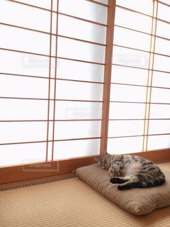 猫,屋内,かわいい,茶色,昼寝,畳,アメリカンショートヘア,アメショ,ふすま