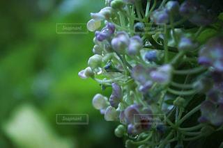 水,水滴,紫陽花,雫