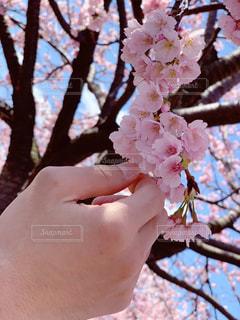男性,春,花見,桜の花,さくら