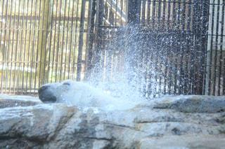 動物園,雫,ピース,水浴び,白くま,シロクマ