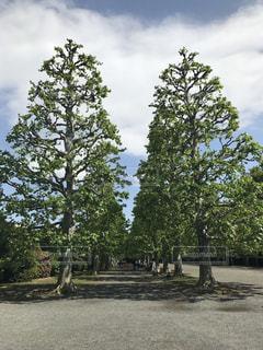 お散歩日和の休日 立派な樹木を眺めての写真・画像素材[2082179]