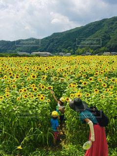 ひまわり畑🌻の写真・画像素材[2095910]